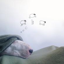 Rafael-Mantesso-Bull-Terrier-10